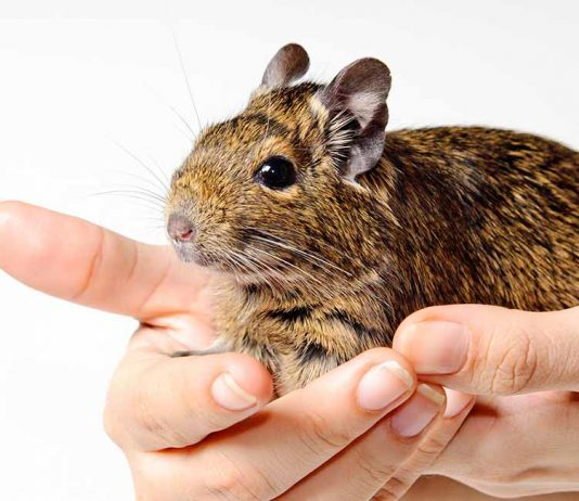 degu pet facts