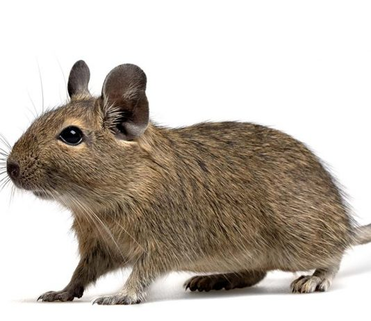 What are the best degu toys?