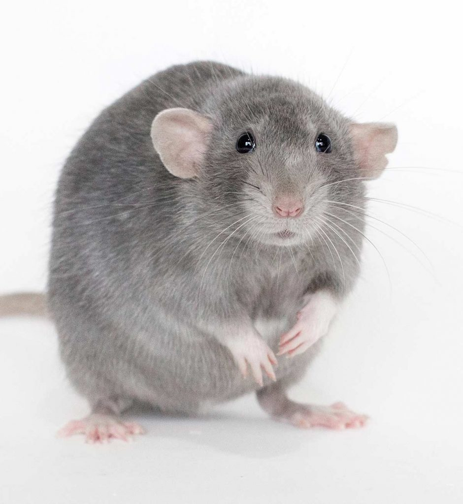 Dumbo rat colors can vary.