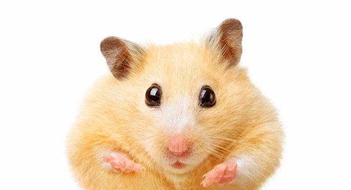 fat hamster