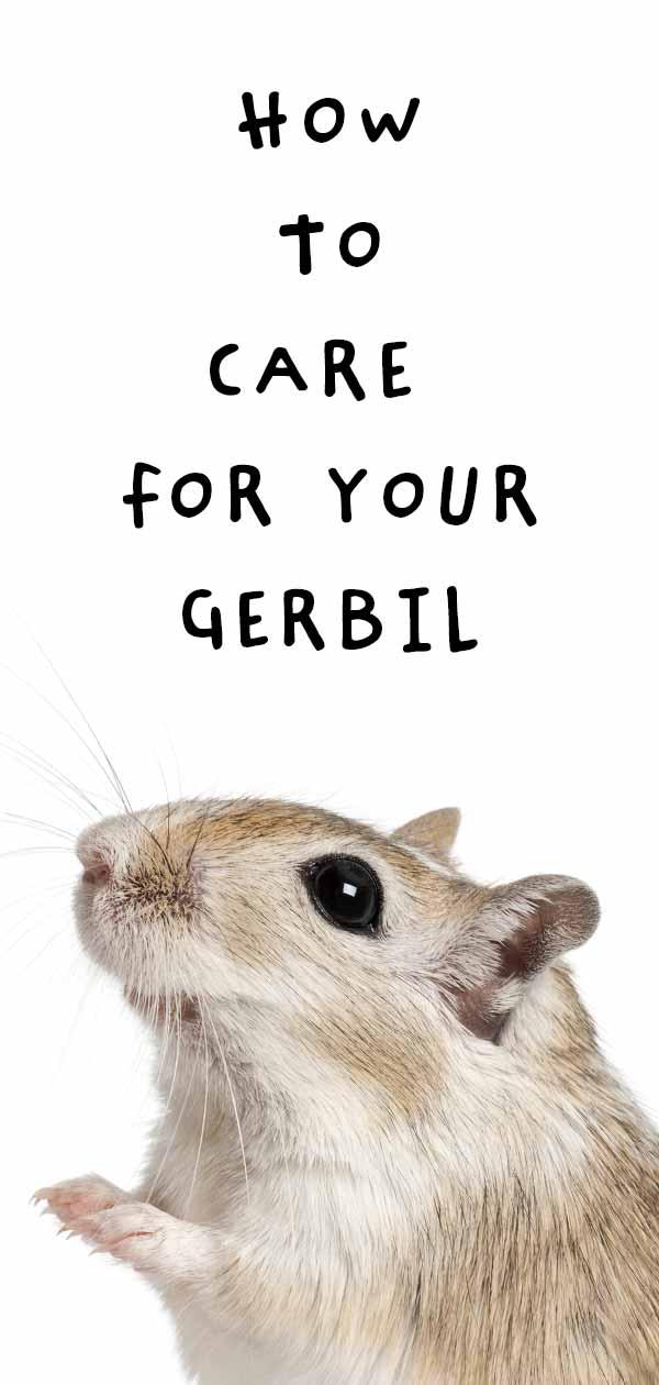 gerbil care
