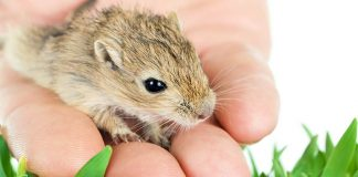 Have you considered gerbils as pets?