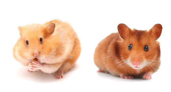 hamster colors