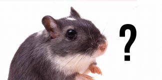 how long do gerbils live