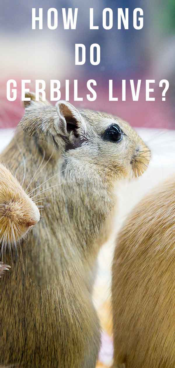 how long do gerbils live
