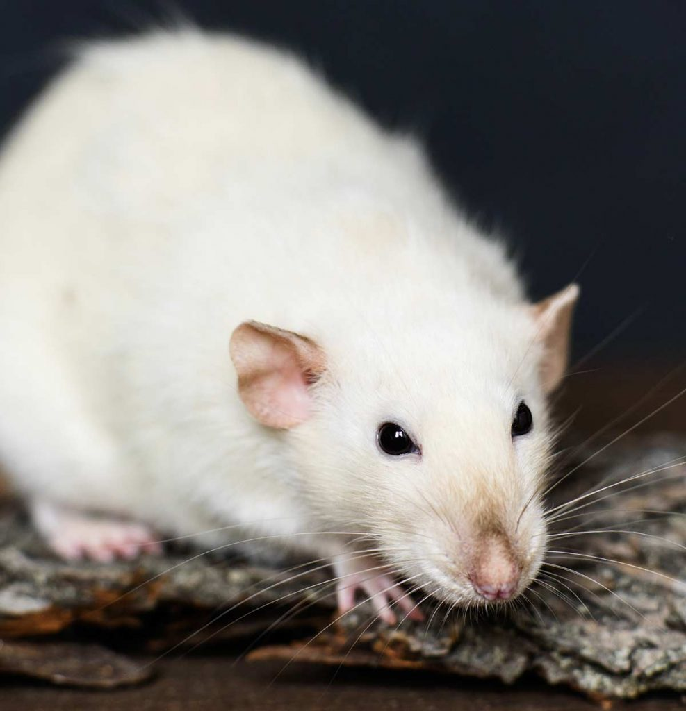 Siamese rat colors aren't too variable.