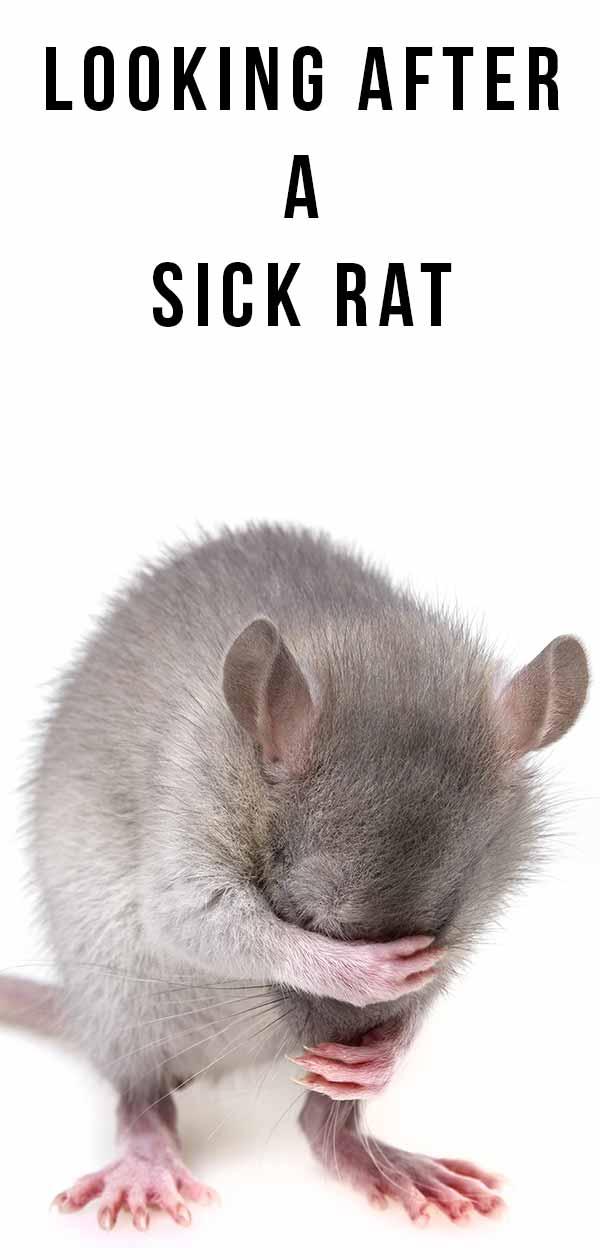 sick rat