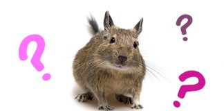 what is a degu