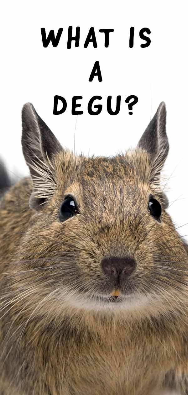 what is a degu