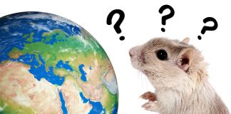 where do gerbils come from