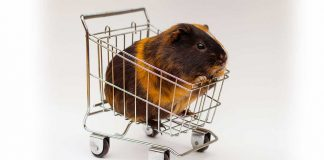 where to buy guinea pigs