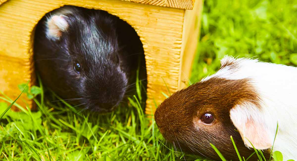 What is the best wood for guinea pig cage?