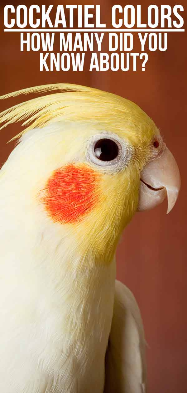 Cockatiel Colors - How Many Did You Know About?
