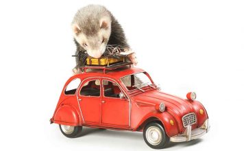 Are you looking for ideas for DIY ferret toys?