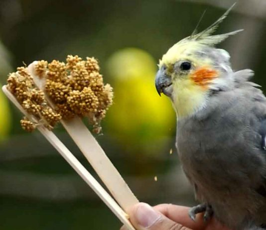 best cockatiel food
