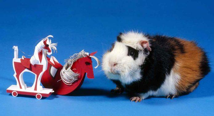 best guinea pig supplies