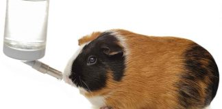 best guinea pig water bottle