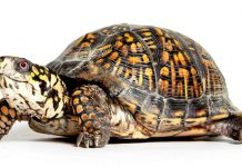box turtle lifespan