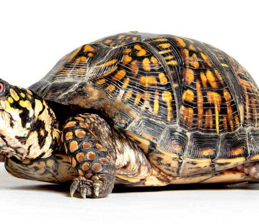 box turtle lifespan