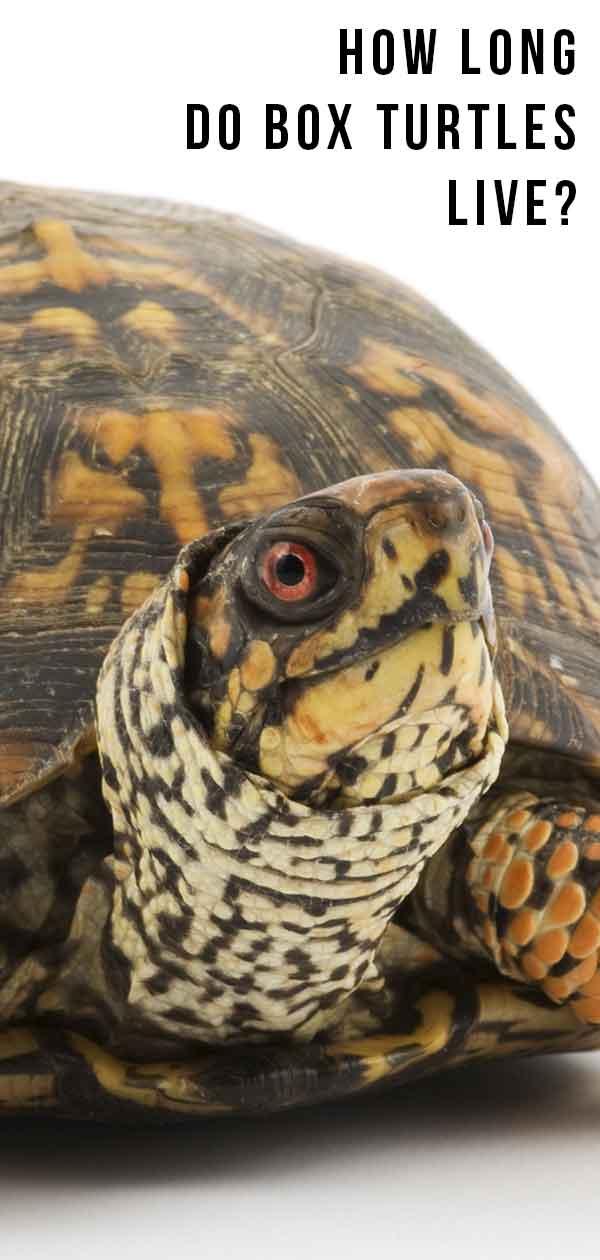 Box Turtle Lifespan How Long Do Box Turtles Live