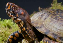 box turtle pet