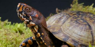 box turtle pet