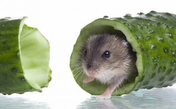 can hamsters eat cucumber