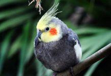 cockatiels as pets