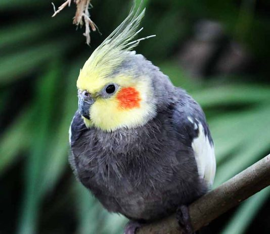 cockatiels as pets