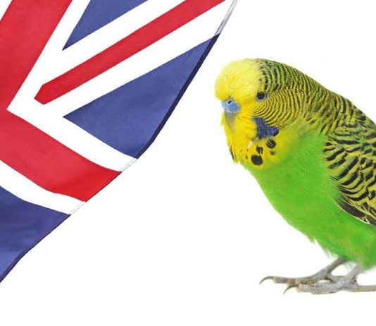 Are you looking for an English budgie?