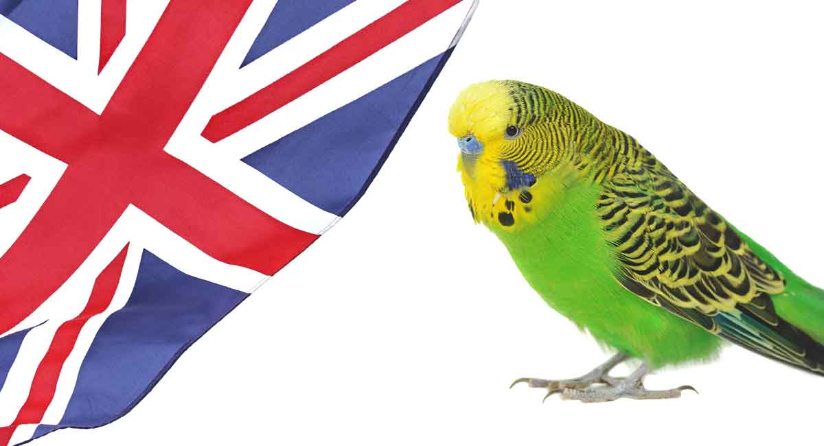 English Budgie - Is This Cute Bird Your Perfect New Pet?