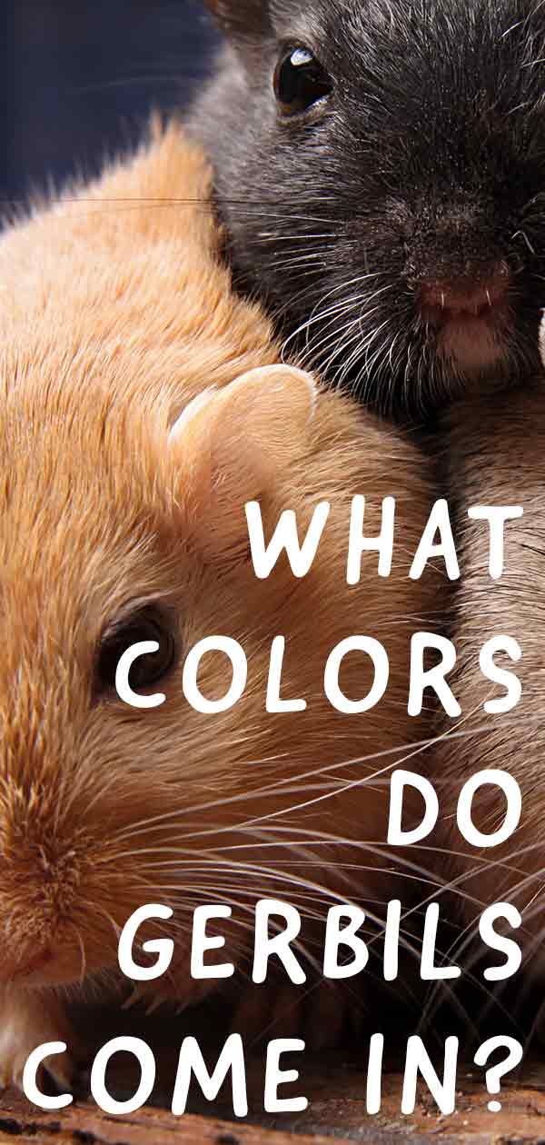 gerbil colors
