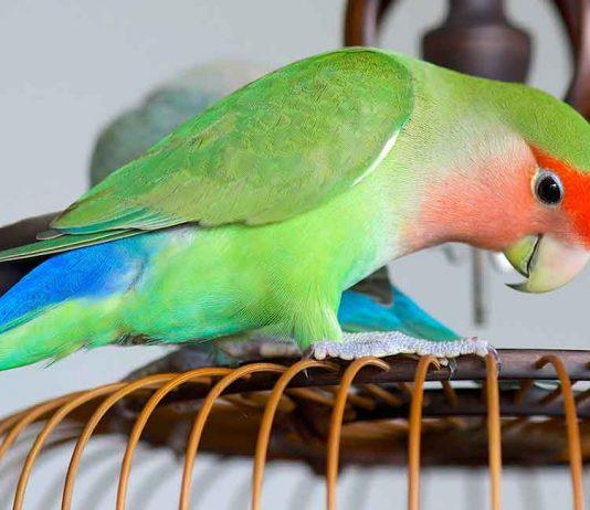 lovebird lifespan