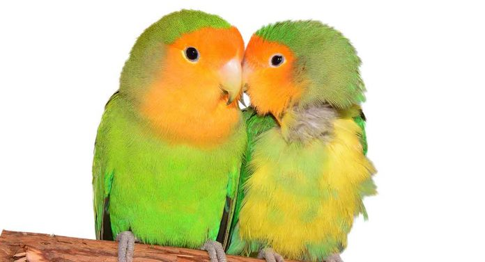lovebirds as pets
