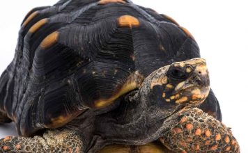 red footed tortoise lifespan