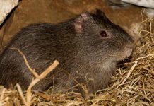 Have you ever seen wild guinea pigs?