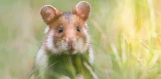 wild hamsters
