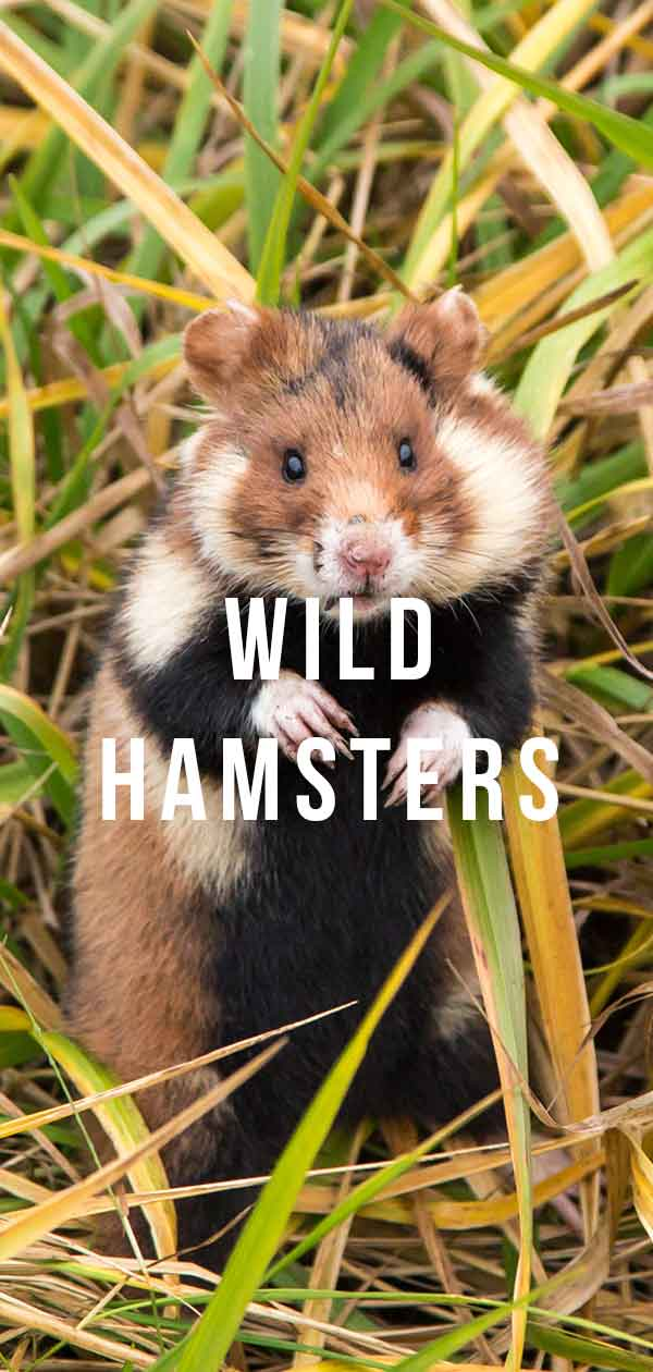 widl hamsters