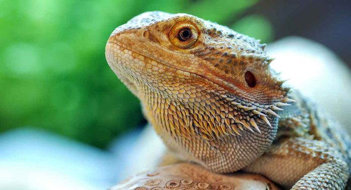 Learn all about bearded dragon care!
