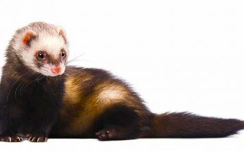 descented ferret
