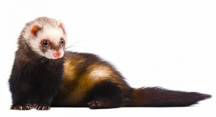 descented ferret