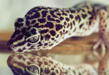 Are you looking at getting a pet gecko?