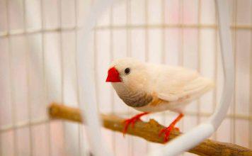 quiet pet birds