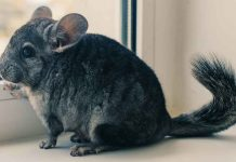 Girl chinchilla names
