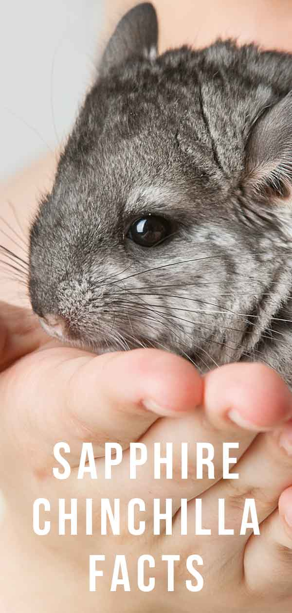 Facts about the sapphire chinchilla