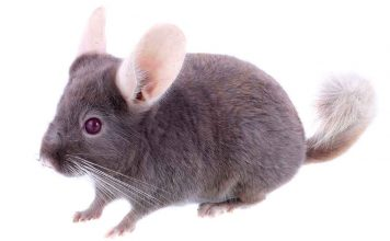 Learn more violet chinchilla facts