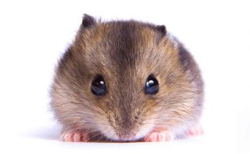 dwarf hamster lifespan