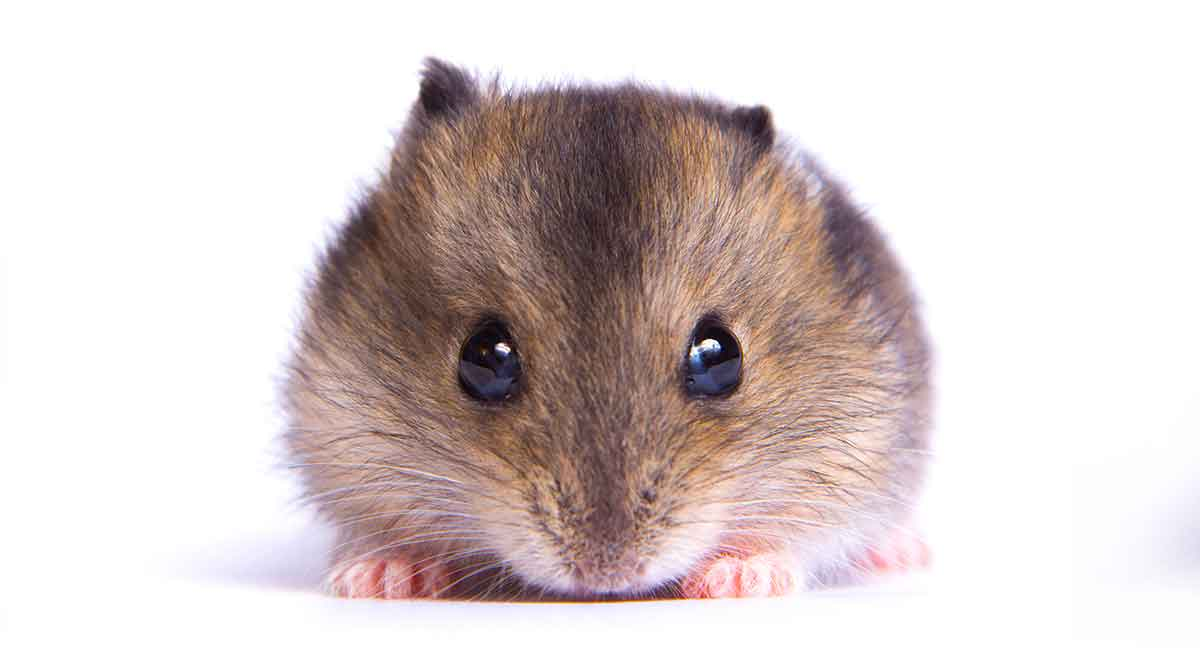 Dwarf Hamster Lifespan How Long Will Your Dwarf Hamster Live Official freecams community from xhamster. dwarf hamster lifespan how long will