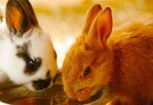small bunny breeds