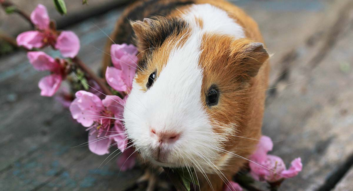 Can Guinea Pigs Live Alone? - Find Out More About Solitary Pigs